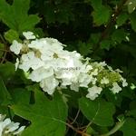 Hydrangea quercifolia Alice (10)