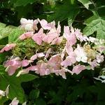 Hydrangea quercifolia Alice (4)