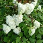 Hydrangea quercifolia Snowdrift (1)