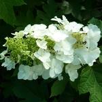 Hydrangea quercifolia Tennessee Clone (2)