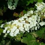 Hydrangea quercifolia Tennessee Clone (3)