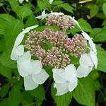 Hydrangea serrata Grayswood (1)