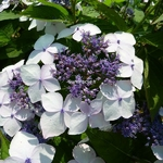 Hydrangea serrata Grayswood (2)