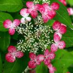 Hydrangea serrata Kurenai (1)
