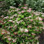 Hydrangea serrata Kurenai (2)