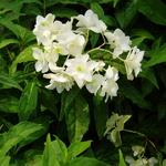 Hydrangea serrata Shirofuji (7)