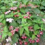 Hydrangea serrata Kurenai (14)