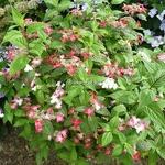 Hydrangea serrata Kurenai (20)