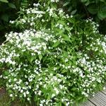 Hydrangea serrata Shirofuji (5)