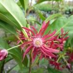Illicium Woodland Ruby (5)