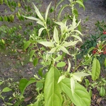 Itea chinensis (3)