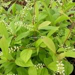 Itea japonica Beppu (3)