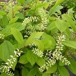 Itea japonica Beppu (2)