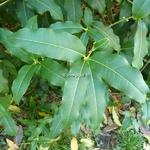 Osmanthus yunnanensis (7)