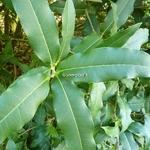Osmanthus yunnanensis (8)
