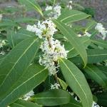 Osmanthus yunnanensis (5)