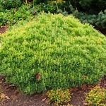 Pinus strobus Minima (1)