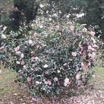 Camellia sasanqua Plantation Pink (1)