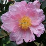 Camellia sasanqua Plantation Pink (3)