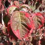 Cornus florida Pink Flame (1)