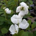 Exochorda Magical Springtime (1)