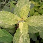 Hydrangea paniculata Shikoku Flash
