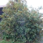 Osmanthus fragrans Aurantiacus (2)