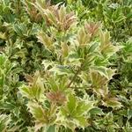 Osmanthus heterophyllus Variegatus (2)