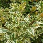 Osmanthus heterophyllus Variegatus (3)