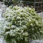 Pinus strobus nana (3)