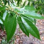 Quercus myrsinifolia (3)