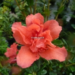 Rhododendron Encore Sunset (2)