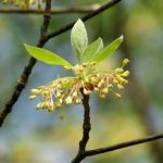 Sassafras albidum (1)