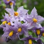 Solanum crispum Glasnevin (2)