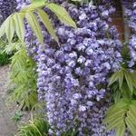 Wisteria floribunda Violacea Plena