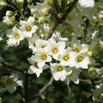 Xanthoceras sorbifolium (1)
