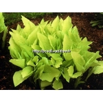 l_hosta%20gold%20haze
