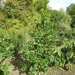 Ilex koeheana Chestnut Leaf