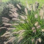 Pennisetum orientale Karley Rose (2)