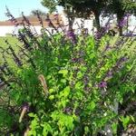 Salvia Amistad (2)