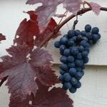 Vitis vinifera Purpurea