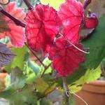 Vitis vinifera Purpurea (2)