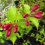 Weigela florida Aurea (4)