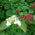 Viburnum plicatum Dart's Red Robin