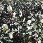 Viburnum harryanum (2)