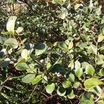 Viburnum harryanum (1)
