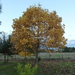 Liriodendron tulipifera (1)