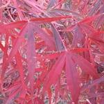 Acer palmatum Beni Otake (2)