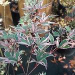 Acer palmatum Beni Shishihenge (1)