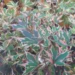 Acer palmatum Beni Shishihenge (2)